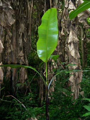 Young Musa formosana plant in the mountains of Taiwan. Copyright © Phil Markey