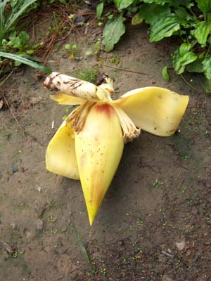 Musa itinerans var. formosana a rare totally yellow bud we found at Shitou, Central Taiwan