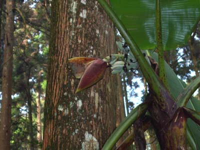 Musa itinerans var. formosana 1700 m elevation Shitou, Central Taiwan
