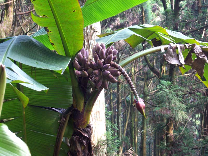 Musa itinerans var. formosana 1800 m elevation Shitou, Central Taiwan