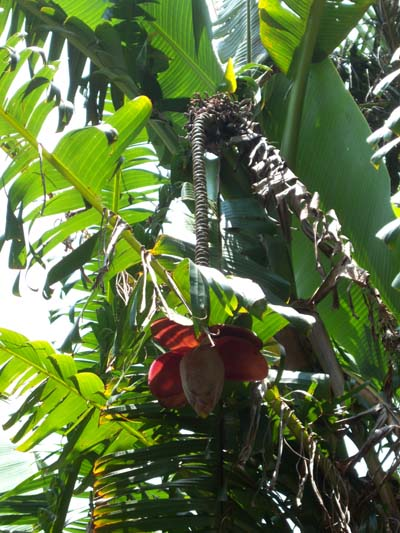 Musa balbisiana Kenting showing imbricate male bud