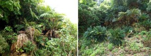Right: Cycas revoluta Okinawa, Japan. Left: Arenga ryukyuensis and Cycas revoluta growing together.