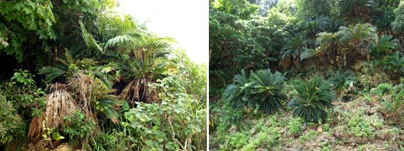 Right: Cycas revoluta Okinawa, Japan. Left: Arenga ryukyuensis and Cycas revoluta growing together in dense undergrowth, Okinawa, Japan.