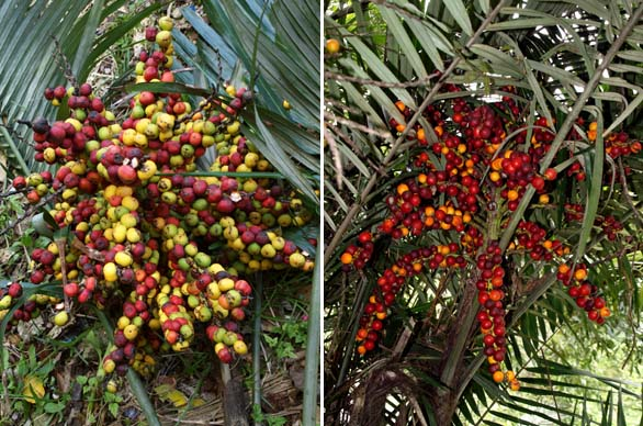 Left: Arenga ryukyuensis fruits. Right Arenga engleri fruits.