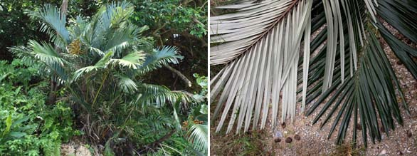 Arenga ryukyuensis showing form, and white undersides of the leaves.