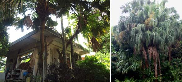 Left: An interesting picture of Livistona chinensis var. subglobosa growing through an old house on Okinawa, Japan. Right: Livistona chinensis var. subglobosa in Taiwan tends to grow much straighter trunks.