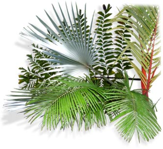 Ornamental Palm tree shopping