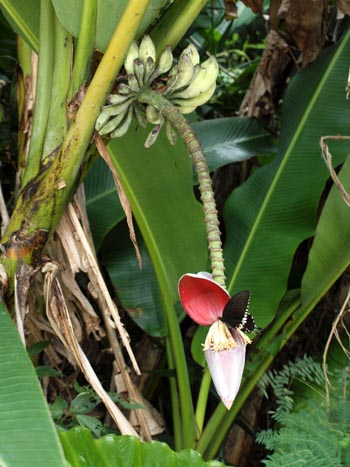 Musa balbisiana var. liukiuensis Copyright  Phil Markey