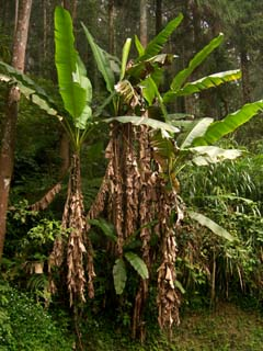 Musa formosana Copyright  Phil Markey