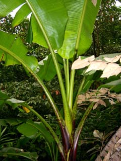 Musa insularimontana Copyright  Phil Markey