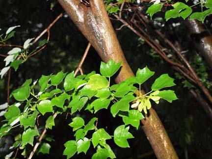 Acer buergerianum var. formosanum Image