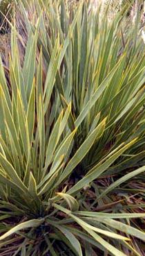 Aciphylla aurea Image