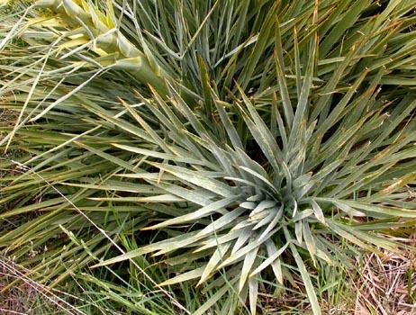 Aciphylla scott-thomsonii Image