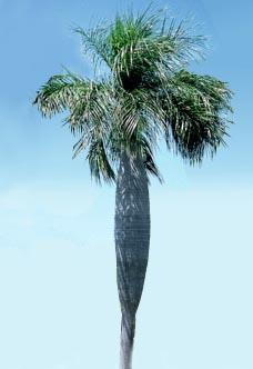 Acrocomia crispa Image