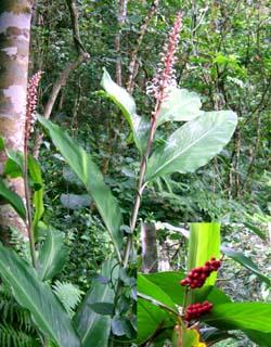 Alpinia intermedia Image