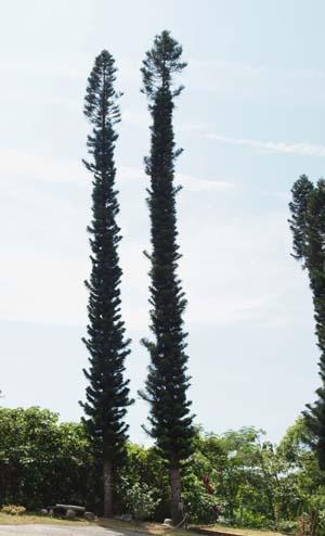 Araucaria columnaris Image