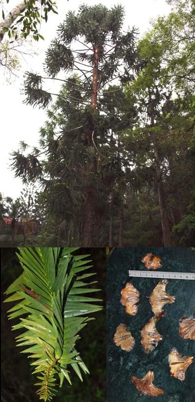 Araucaria hunsteinii Image