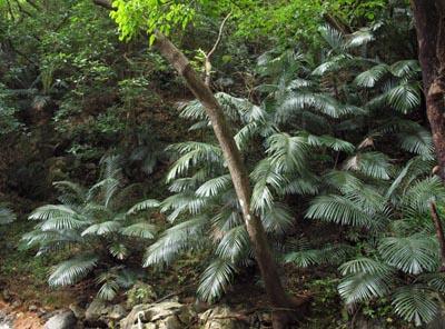 Arenga ryukyuensis Image