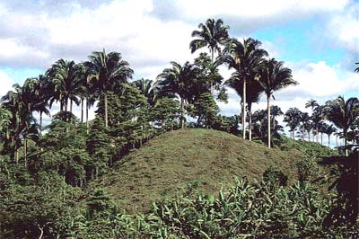 Attalea colenda Image