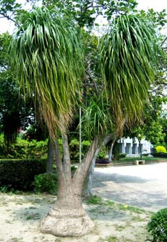 Beaucarnea recurvata Image