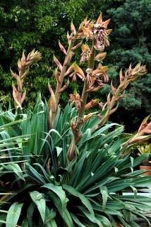 Beschorneria yuccoides Image