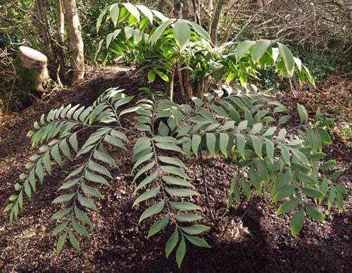 Bowenia spectabilis Image