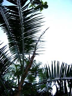 Calamus batanensis Image