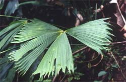 Carludovica rotundifolia Image