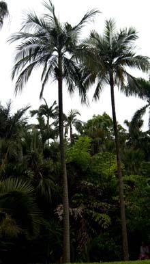 Carpentaria acuminata Image