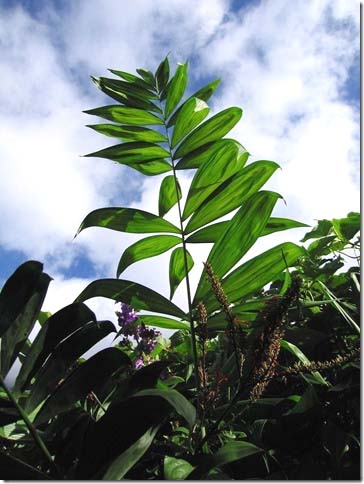 Chamaedorea klotzschiana Image