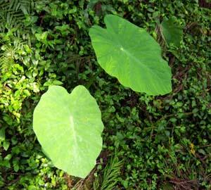 Colocasia formosana Image