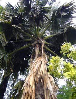 Corypha taliera Image