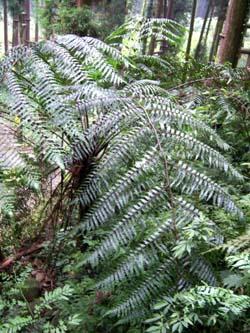 Cyathea podophylla Image