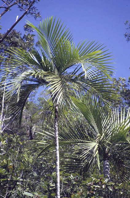 Cyphokentia macrostachya Image