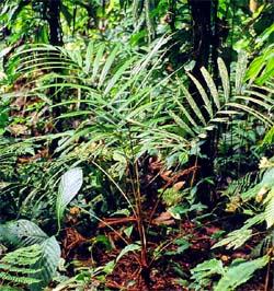 Geonoma cuneata subsp. linearis Image