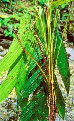 Geonoma cuneata subsp. cuneata Image