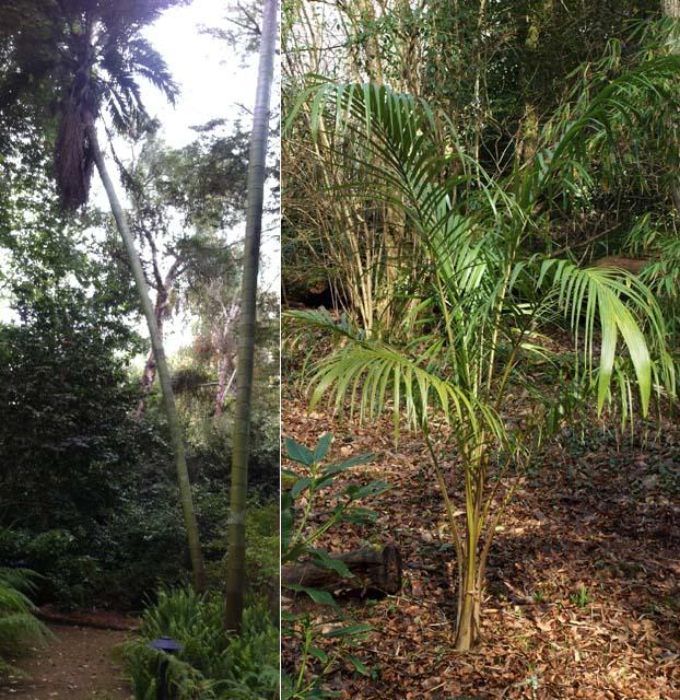 Juania australis Image