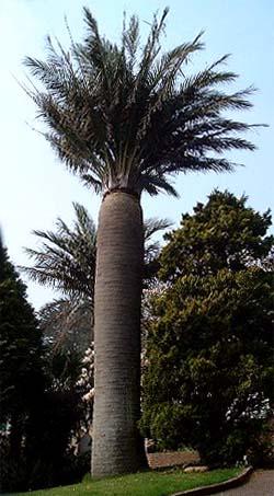 Jubaea chilensis Image