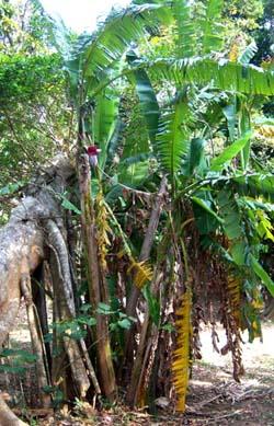 Musa balbisiana Image