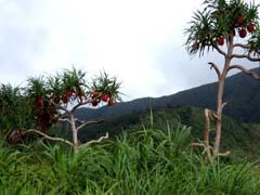 Pandanus odorifer Image