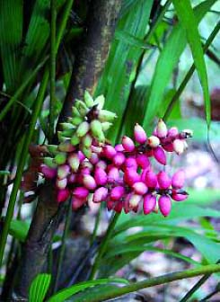 Pinanga cattienensis Image