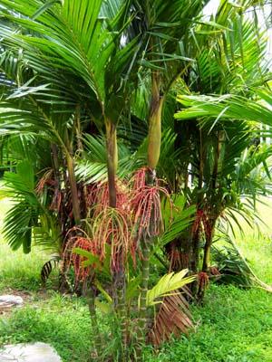 Pinanga coronata Image