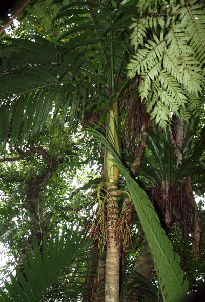 Pinanga tashiroi Image