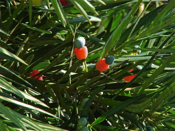 Podocarpus macrophyllus Image
