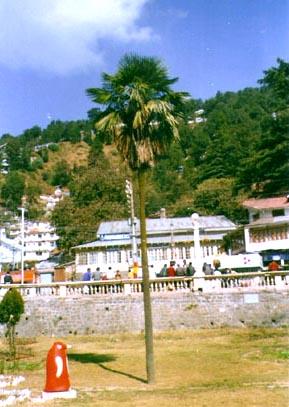 Trachycarpus sp. nanital Image