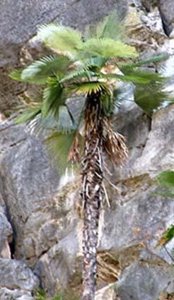 Trachycarpus princeps Image