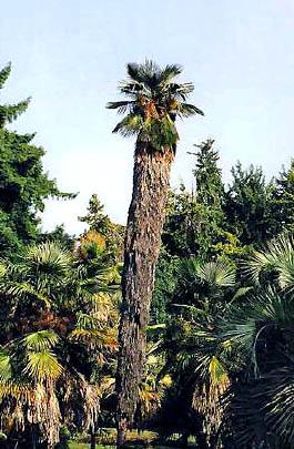 Trachycarpus takil Image