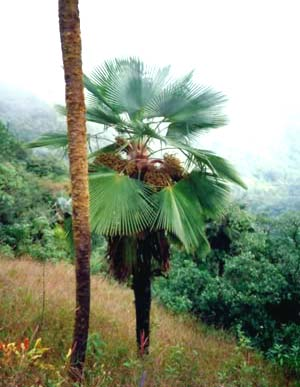 Trachycarpus ukhrulensis Image
