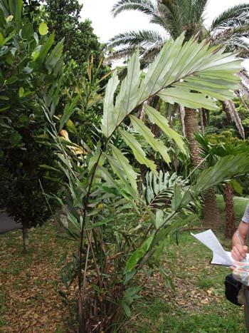 Wallichia oblongifolia Image